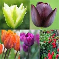 Humphreys Classic Tulip  Collection